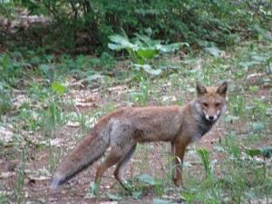 foxfox1.jpg
