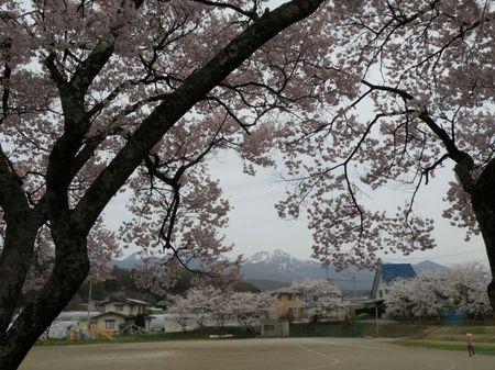 北小八つと桜.jpg