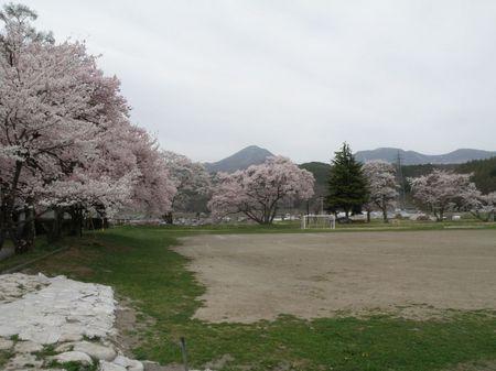 小学校桜.jpg