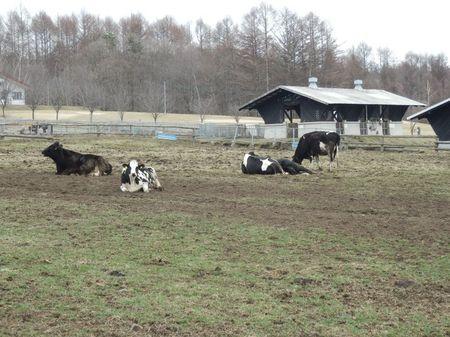 牛ものんびり.jpg