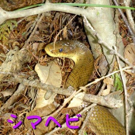 シマヘビ.jpg