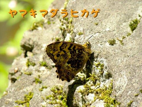 ヤマキマダラヒカゲ.jpg