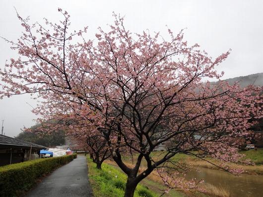 みなみの桜.jpg