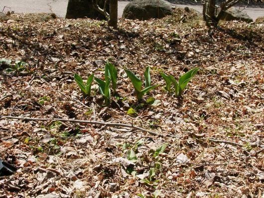 チューリップの芽.jpg