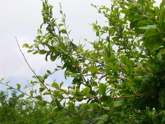木の上のミヤマシロチョウ.jpg