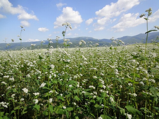 0822蕎麦の花.jpg