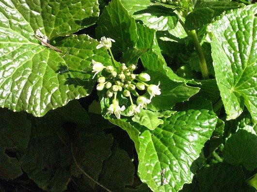 IMG_0022wasabiの花.jpg