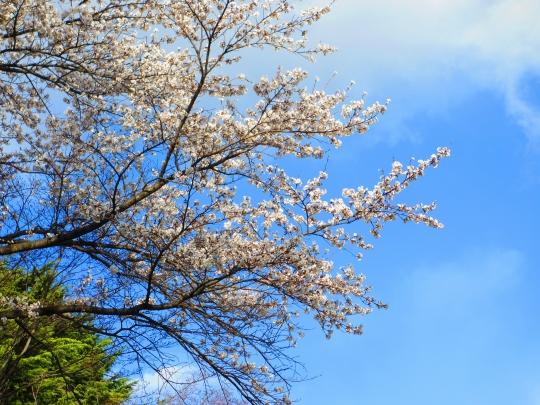 IMG_3774sakura.jpg