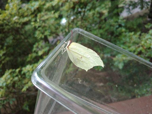やまき蝶 1 IMG_20210725_131128.jpg