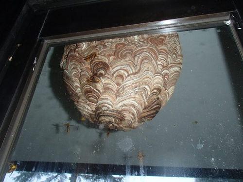 蜂の巣写真.JPG